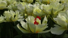 Mutant red and white colorful Tulip flowers Stock Footage