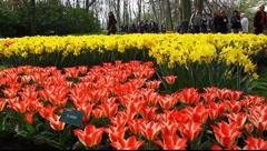 Keukenhof Dutch Tulip Gardens Stock Footage