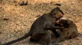 Cambodian Macaque Monkey Male and Female playing, eating, jumping, scratching Footage