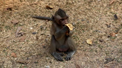 Cambodian Macaque Monkey Male and Female playing, eating, jumping, scratching Stock Footage
