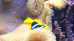 Clown fish in aquarium Stock Footage