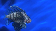 Lion Fish Stock Footage