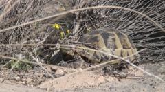 Turtle in Dana Stock Footage