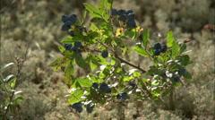 wild blueberries - stock footage