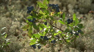 Stock Video Footage of wild blueberries