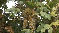 Orvieto grapes 5 zooms in Stock Footage