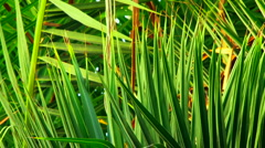 Palm green branches Stock Footage