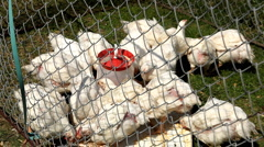 Chickens eating and resting in a cage Stock Footage