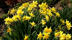 A beautiful bunch of yellow narcissus in a sunny day Stock Footage