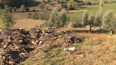 Orvieto farm sheep roaming Stock Footage