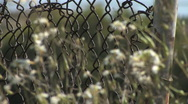 Stock Video Footage of Chain Link Fence Close Up with Flowers