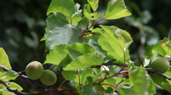 Apricot tree in spring Stock Footage