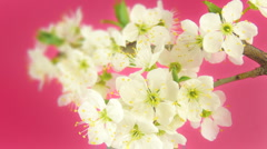 Timelapse blooming sakura HD 30fps Stock Footage