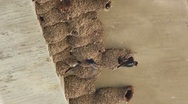 Time Lapse Cliff Swallow Activity Stock Footage