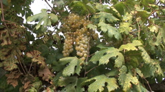 Orvieto grapes zoom in to detail Stock Footage