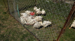 Stock Video Footage of Chickens eating and resting in a cage