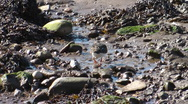 Stock Video Footage of Turnstone looking for food on the beach between small rocks and seaweed.