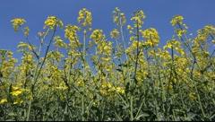 Canola flowers in field Stock Footage
