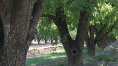 Pecan Trees Green Leaves Stock Footage