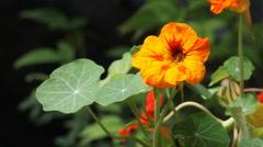 Nasturtium flowers Stock Footage