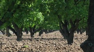 Pecan Tree Agriculture Stock Footage