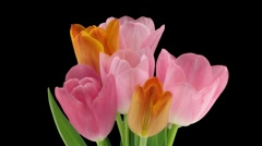 Time-lapse of opening tulip bouquet stereoscopic 3D 1a-right-dci-2k - stock footage