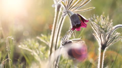Flowers Pulsatilla patens. Shot with slider. Stock Footage