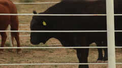 Large Bull Behind Fence HD 30P 5s Stock Footage