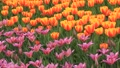 Tulips HD Footage