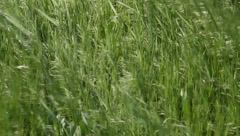 Grass In the Breeze Stock Footage