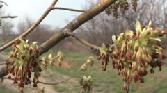 Stock Video Footage of leaves budding in spring