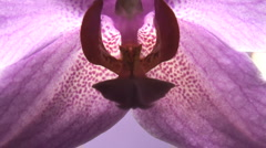 Violet flower orchid close up Stock Footage