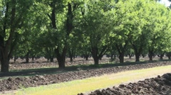 Pecan Grove Rows Stock Footage