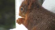 Squirrel finds hazelnut Stock Footage