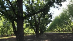 Beautiful Pecan Grove Stock Footage
