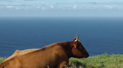Relaxing cow Stock Footage