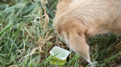 Close-up of stray dog licks box with yogurt in grass. Stock Footage