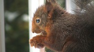 Squirrel finds hazelnut Stock Footage