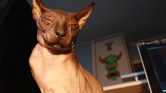 hairless sphynx cat - stock footage