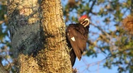 Stock Video Footage of Pileated Woodpecker (Dryocopus pileatus) preening