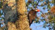 Stock Video Footage of Pileated Woodpecker (Dryocopus pileatus) preening in slow motion