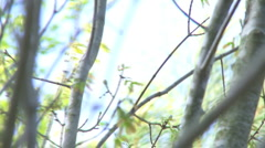 Trees Swaying in a Spring Breeze - HD 1080 Stock Footage