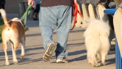 Man with baggy jeans walks dogs Stock Footage