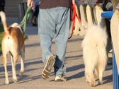 Stock Video Footage of Man with baggy jeans walks dogs