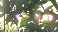 Setting Sun Shines through Tree Leaves 2 - HD 1080 Stock Footage