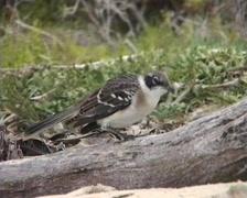 Galapagos Mockingbird (Nesomimus parvulus) Stock Footage