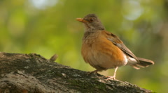 Robin Singing Three Takes (HD) Stock Footage