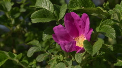 Dog rose or Rosa Canina Stock Footage
