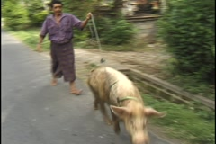 Walking a pig in Bali version 2 Stock Footage