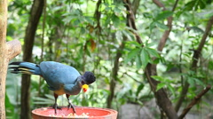 African Turaco feeding - stock footage